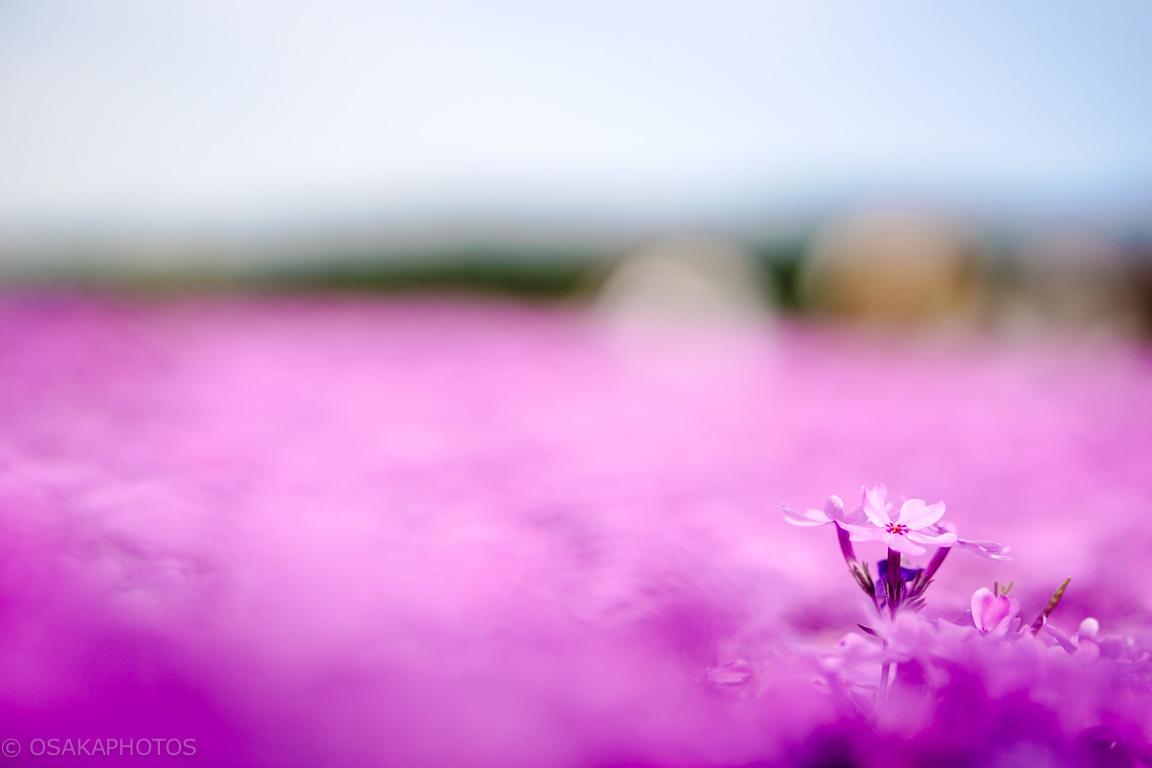 花のじゅうたん-DSC01511