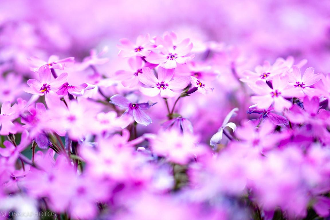花のじゅうたん-DSC01540