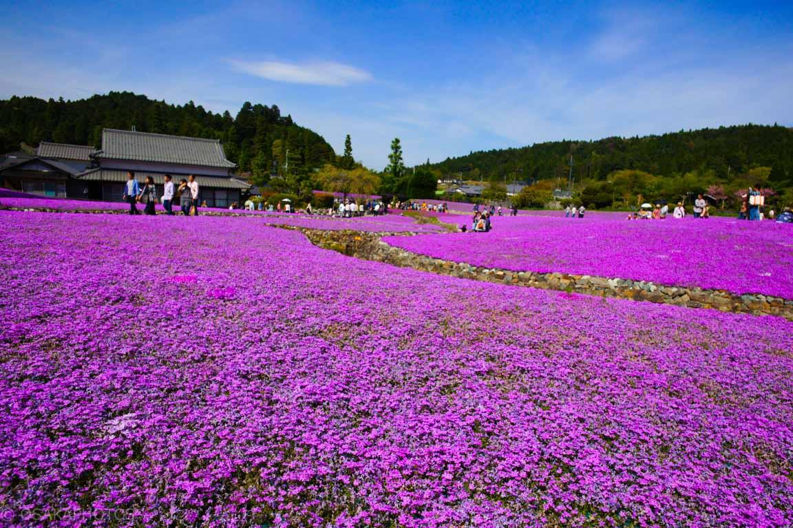 花のじゅうたん-DSC08424