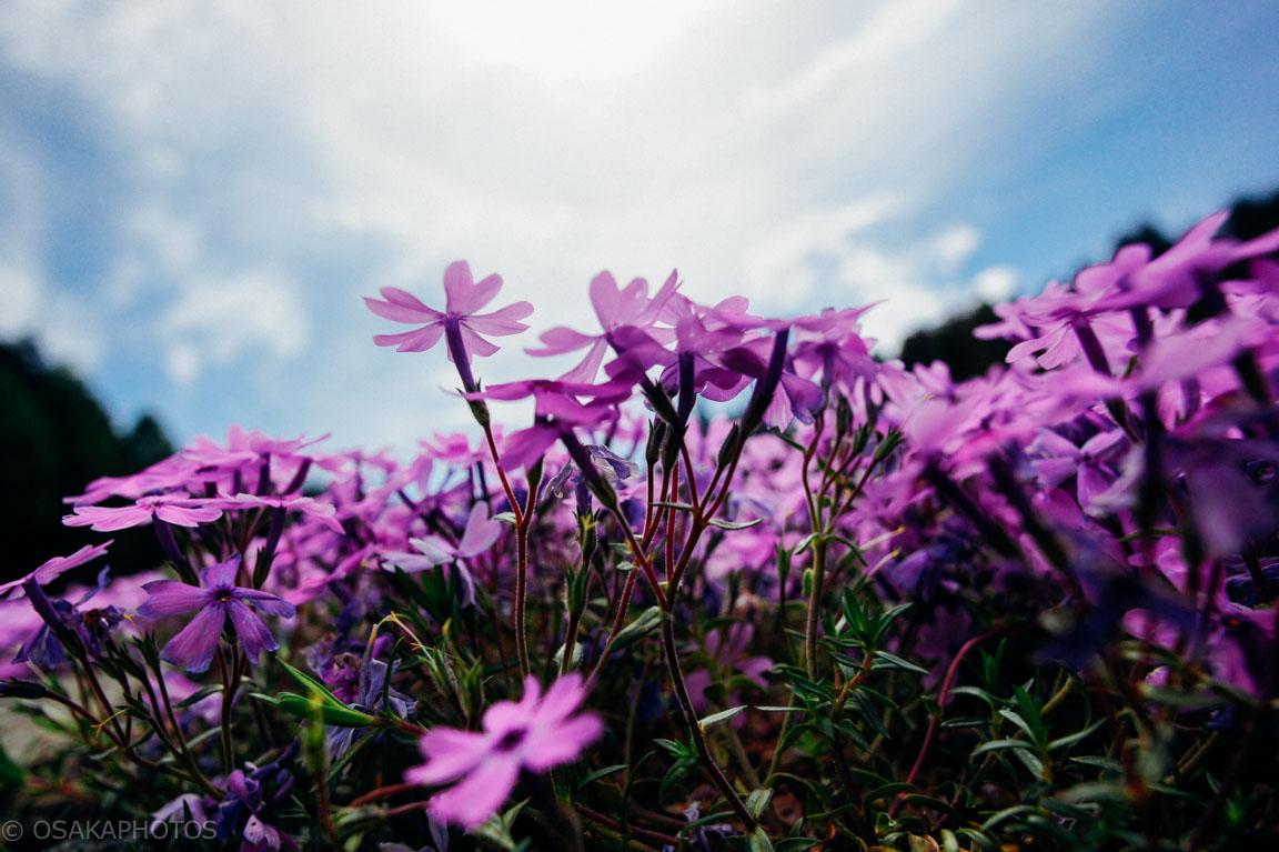 花のじゅうたん-DSC08402