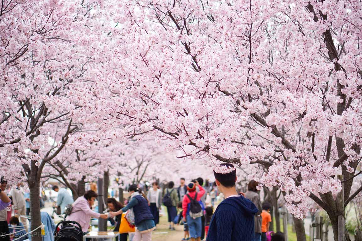 大阪桜-DSC07389