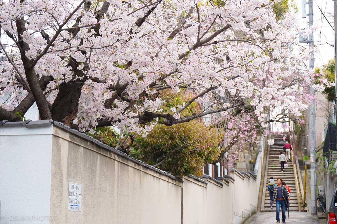 大阪桜-DSC07916