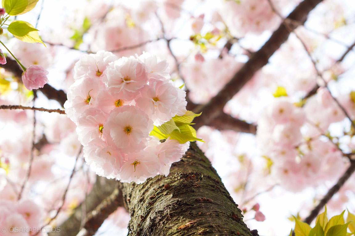大阪桜-DSC07996