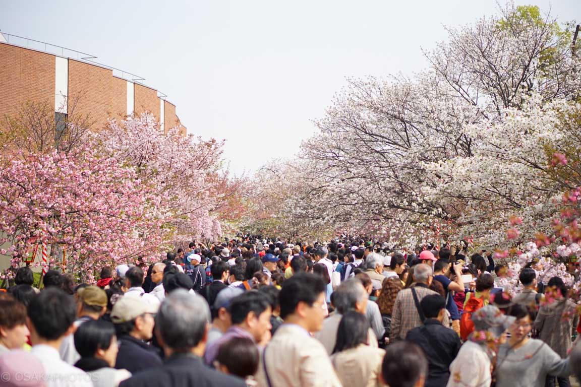 大阪桜-DSC08062