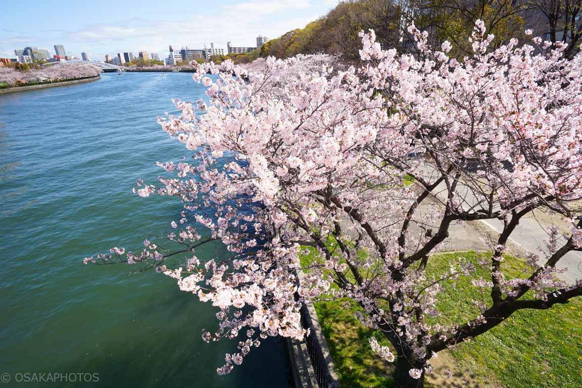 大阪桜-DSC07097