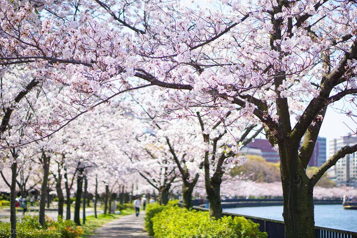 大阪桜-DSC07136