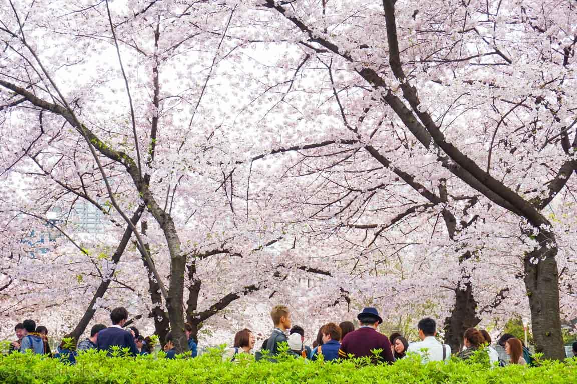 大阪桜-DSC07862