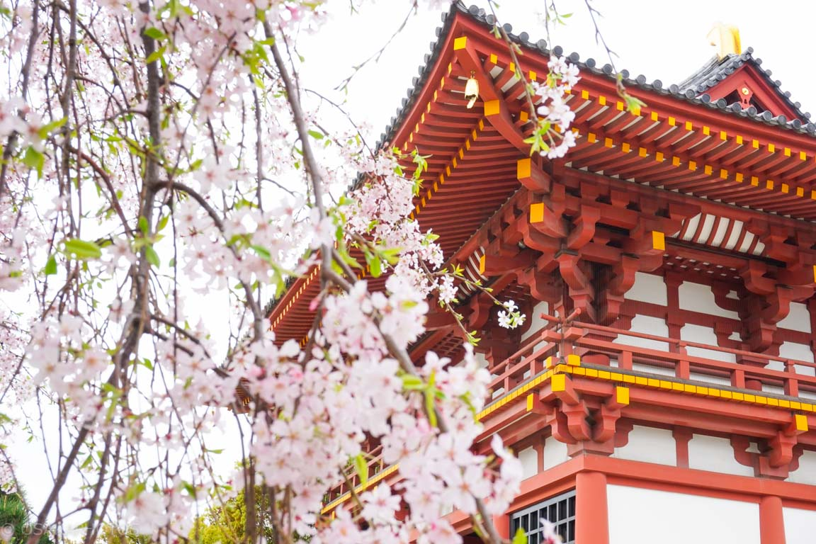大阪桜-DSC07901