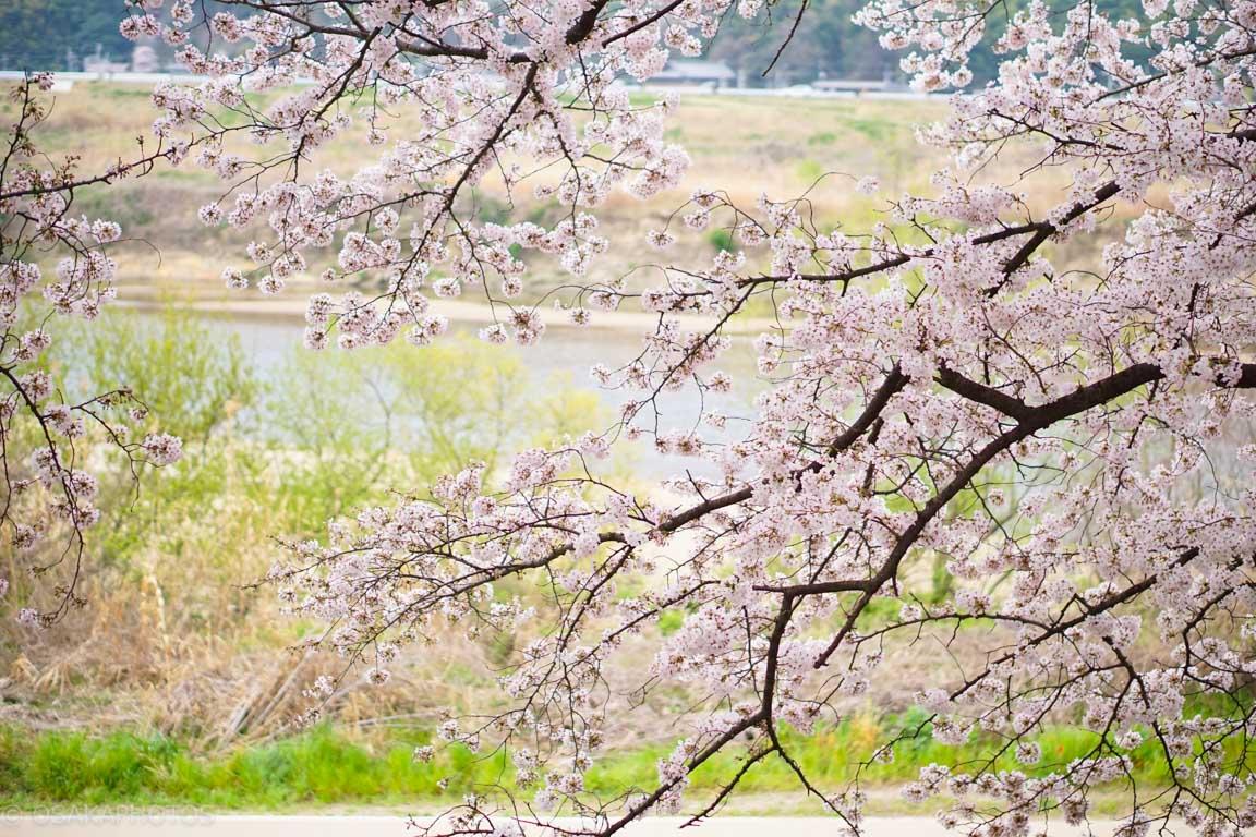 淀川背割堤地区-DSC07482