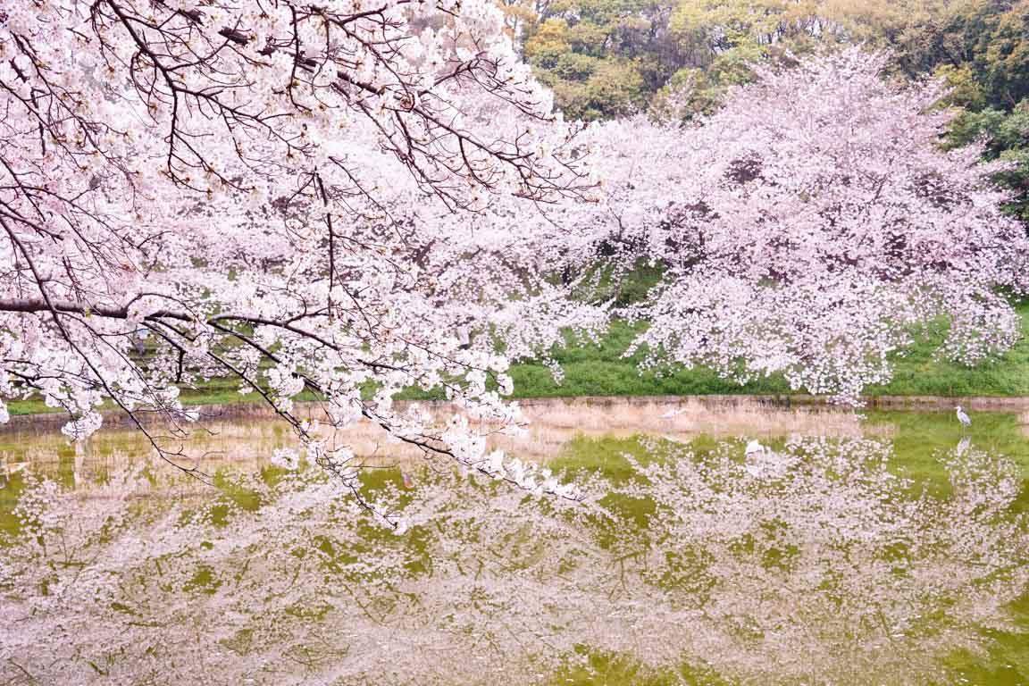 鶴見緑地 桜-DSC08424-2