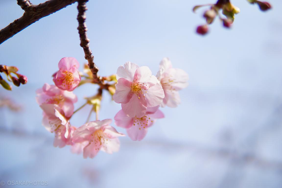 鶴見緑地河津桜-DSC06343