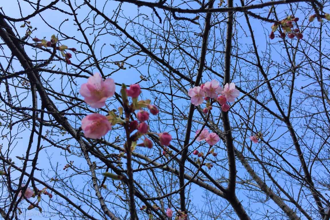 鶴見緑地河津桜-IMG_4224