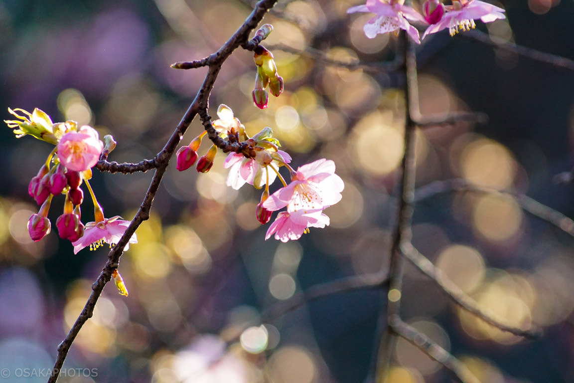 鶴見緑地 河津桜DSC06831