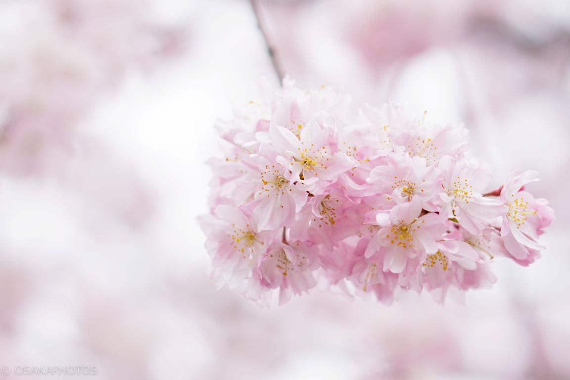 桜-201505