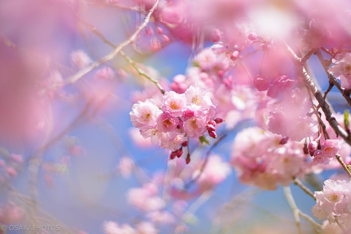 桜-DSC06985