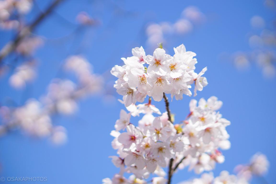 桜-DSC06999