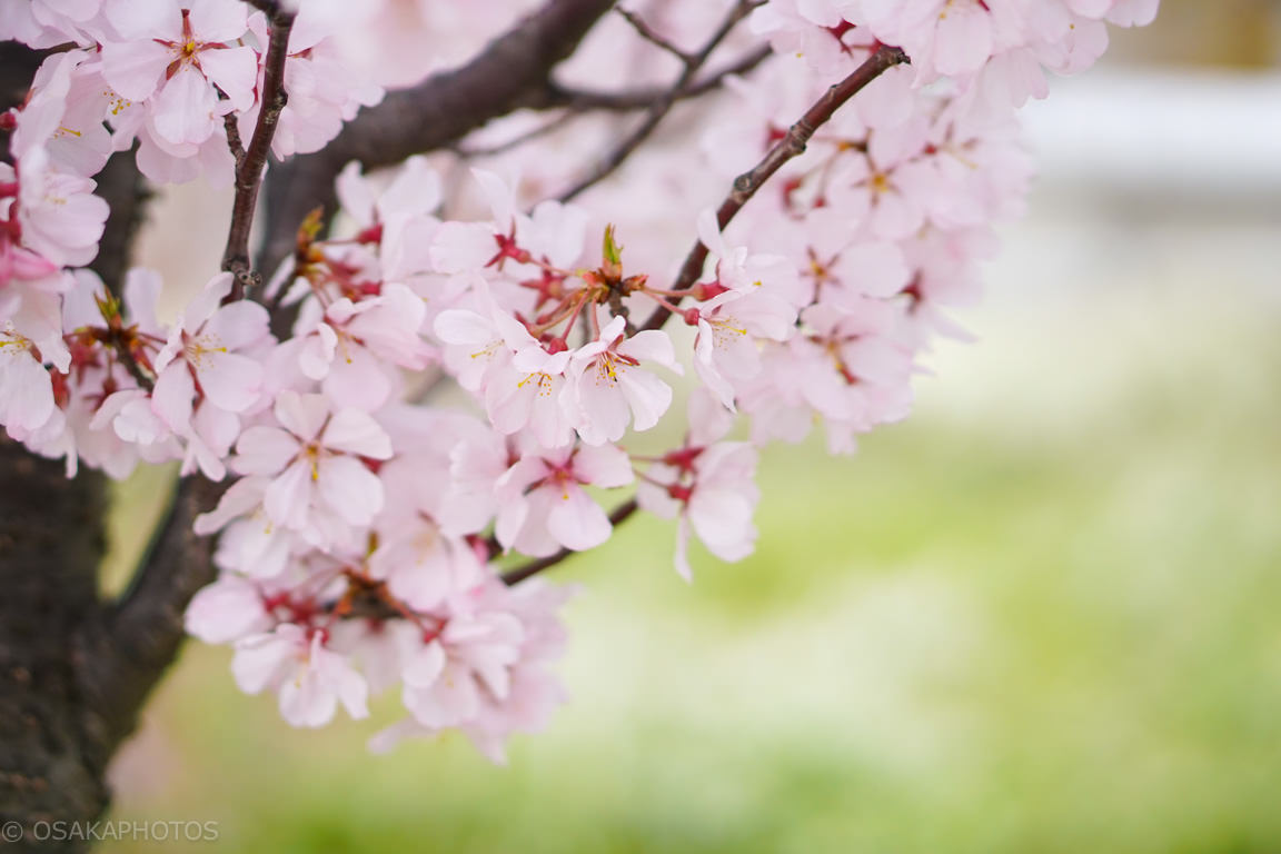 桜-DSC07370