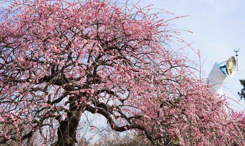 万博記念公園梅まつり-DSC07020