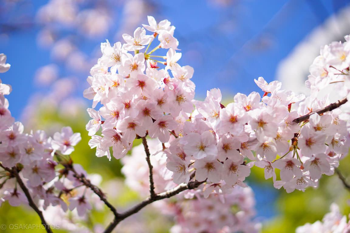 桜-DSC06953