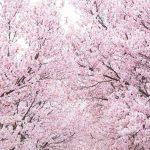 桜-DSC07350