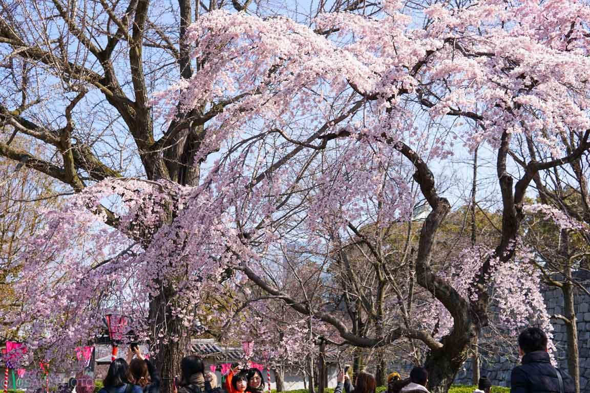 大阪城桜-DSC07949