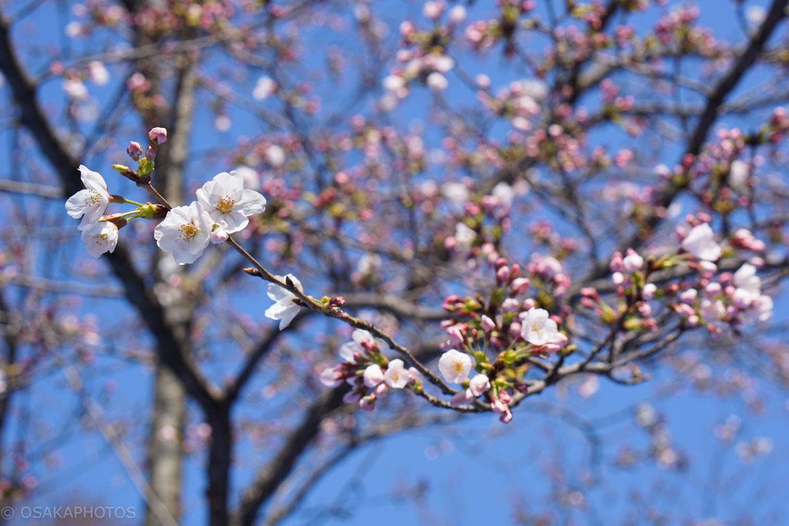 大阪城桜-DSC08007