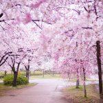 大阪城-桜-DSC08348