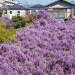熊野街道信達宿-梶本家の藤-DSC08943