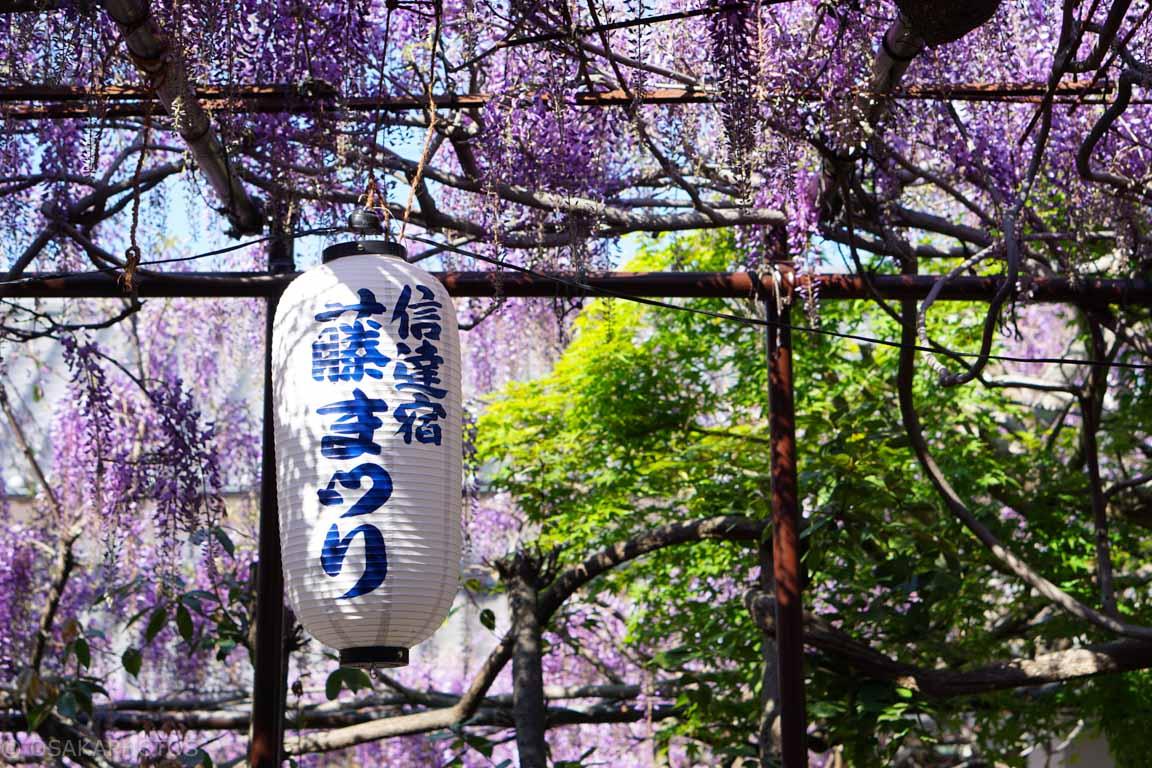 熊野街道信達宿-梶本家の藤-DSC08967