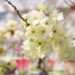 造幣局桜の通り抜け-DSC08772