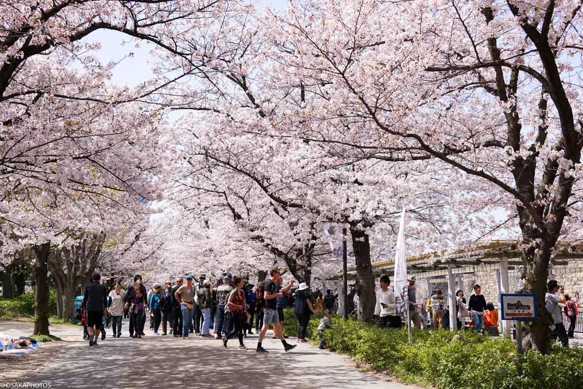 大阪城の桜並木