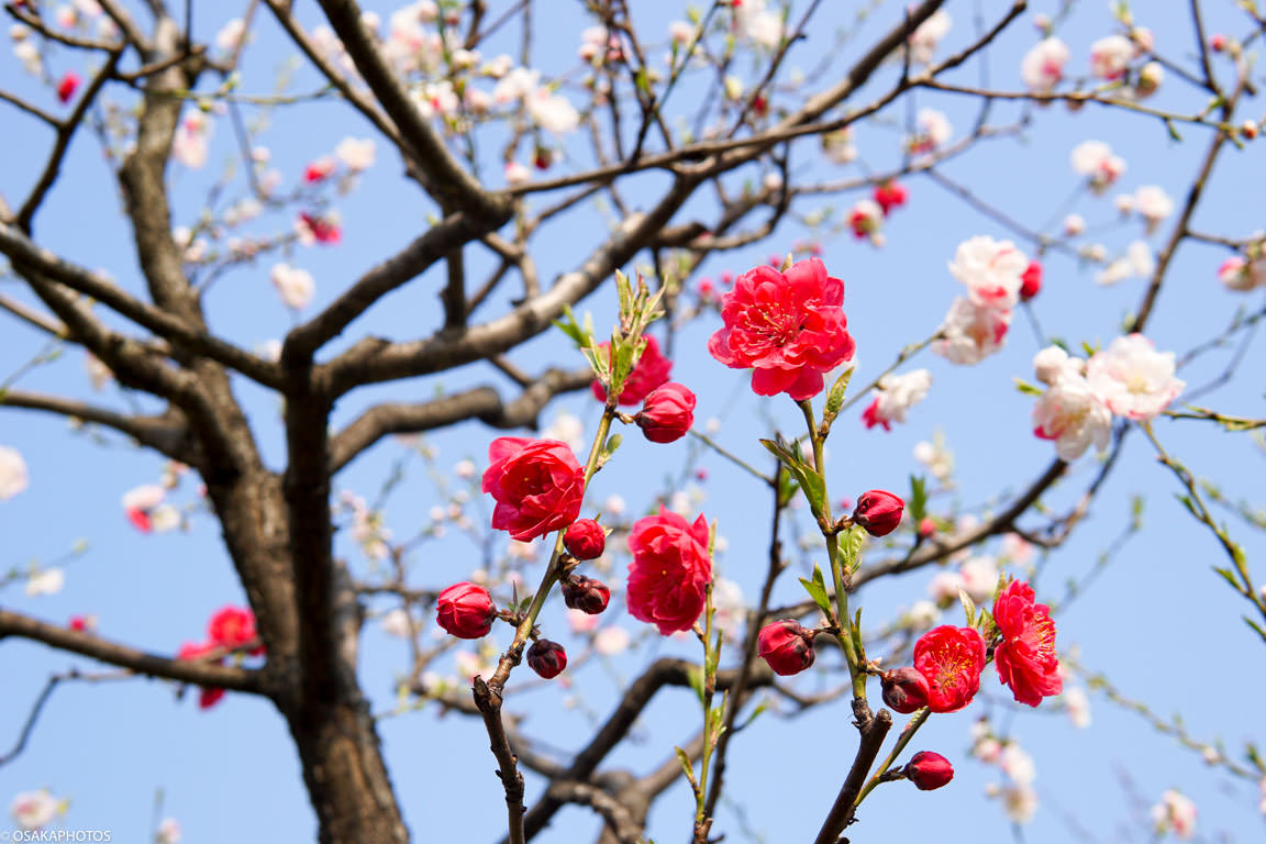 Peach Blossoms-04152