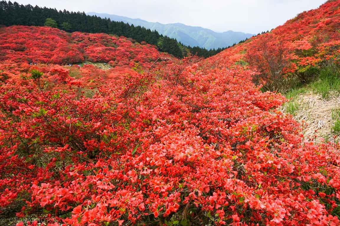 葛城山 自然ツツジ園-DSC00794