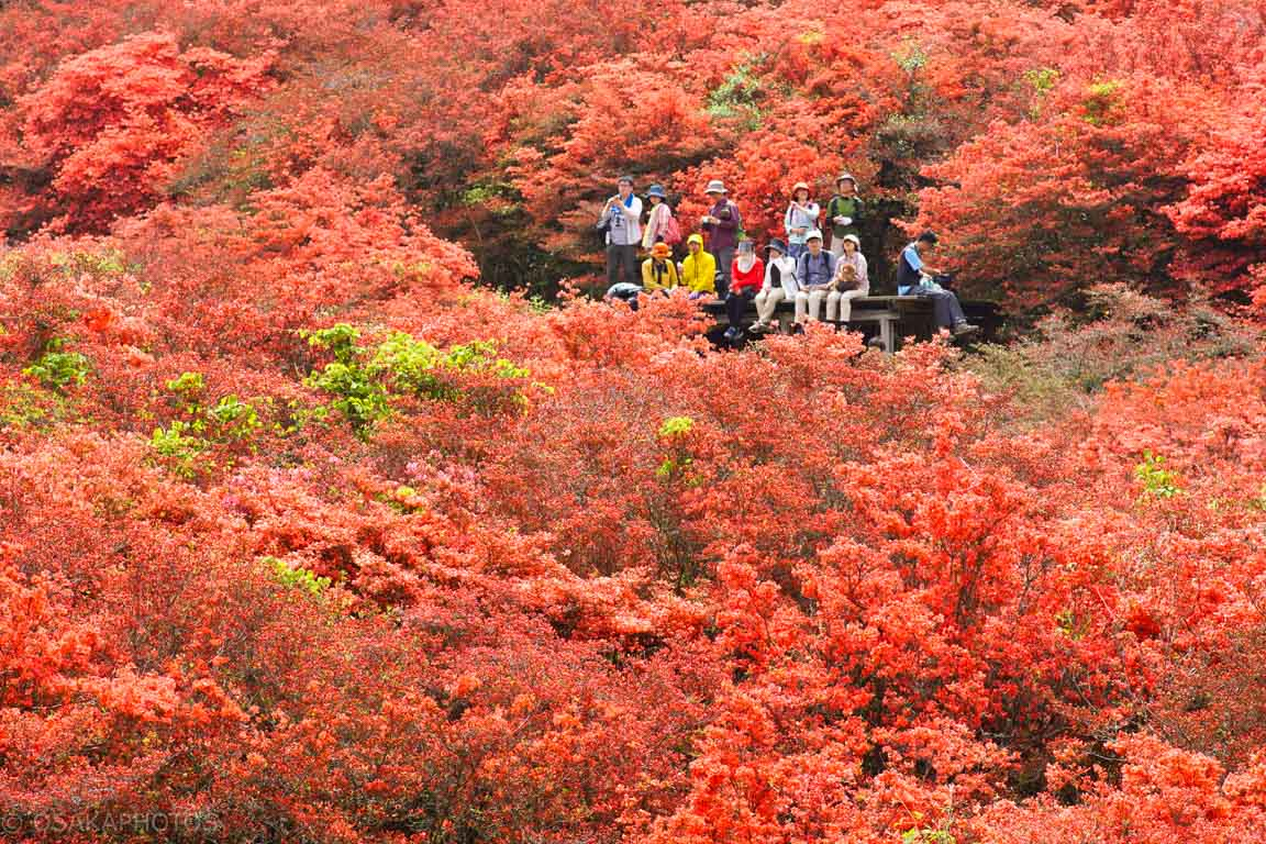 葛城山 自然ツツジ園-DSC00843