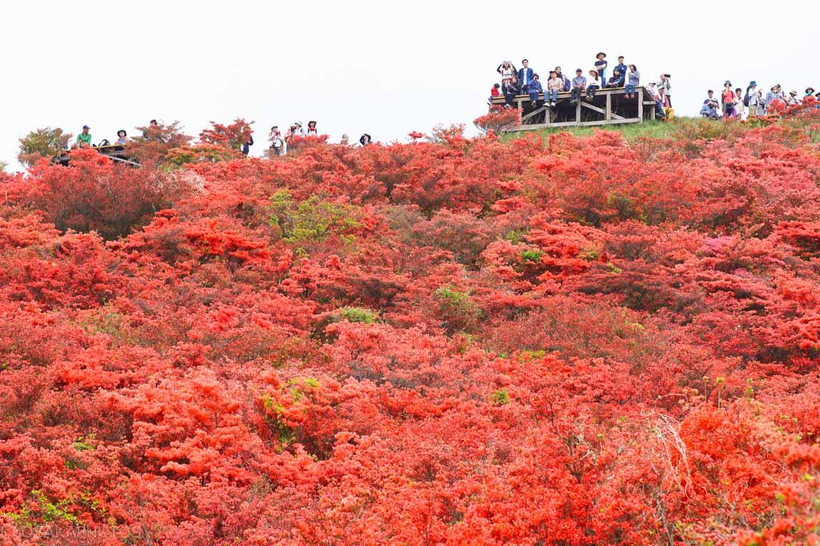 葛城山 自然ツツジ園-DSC00851