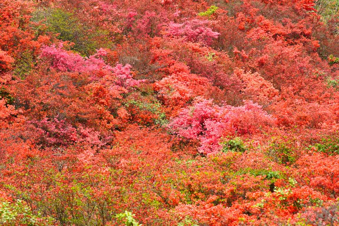 葛城山 自然ツツジ園-DSC00899