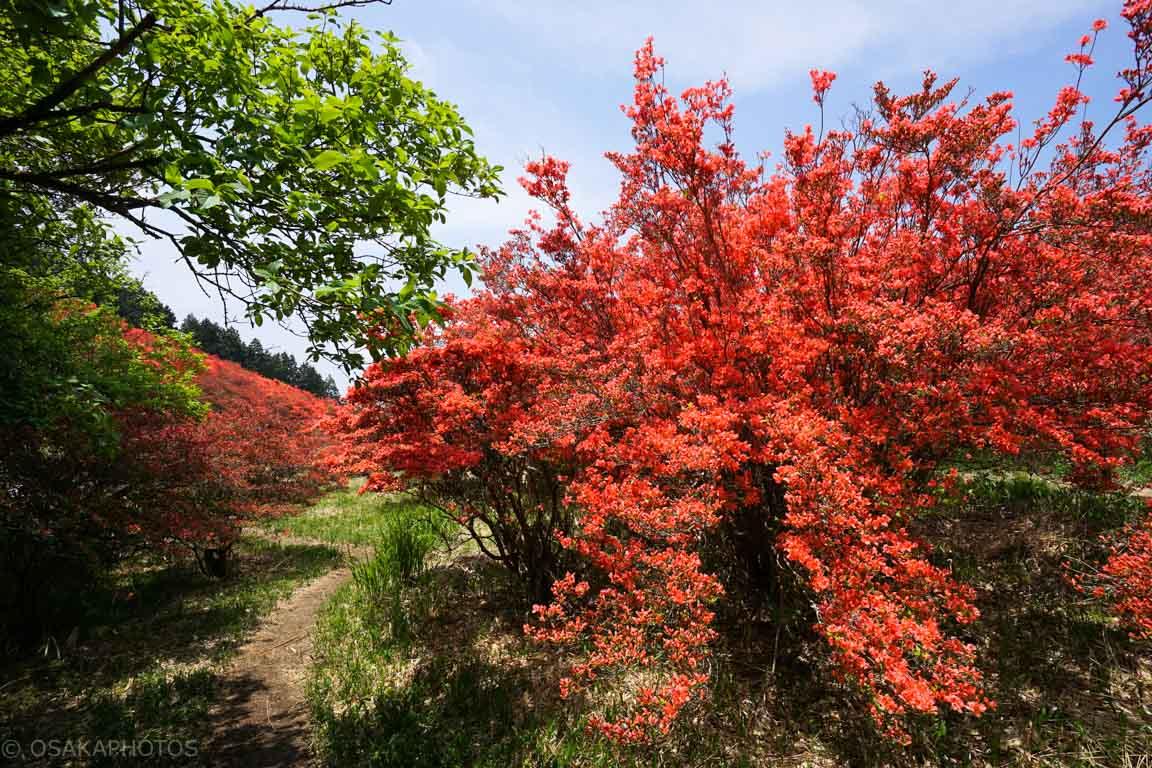 葛城山 自然ツツジ園-DSC00907