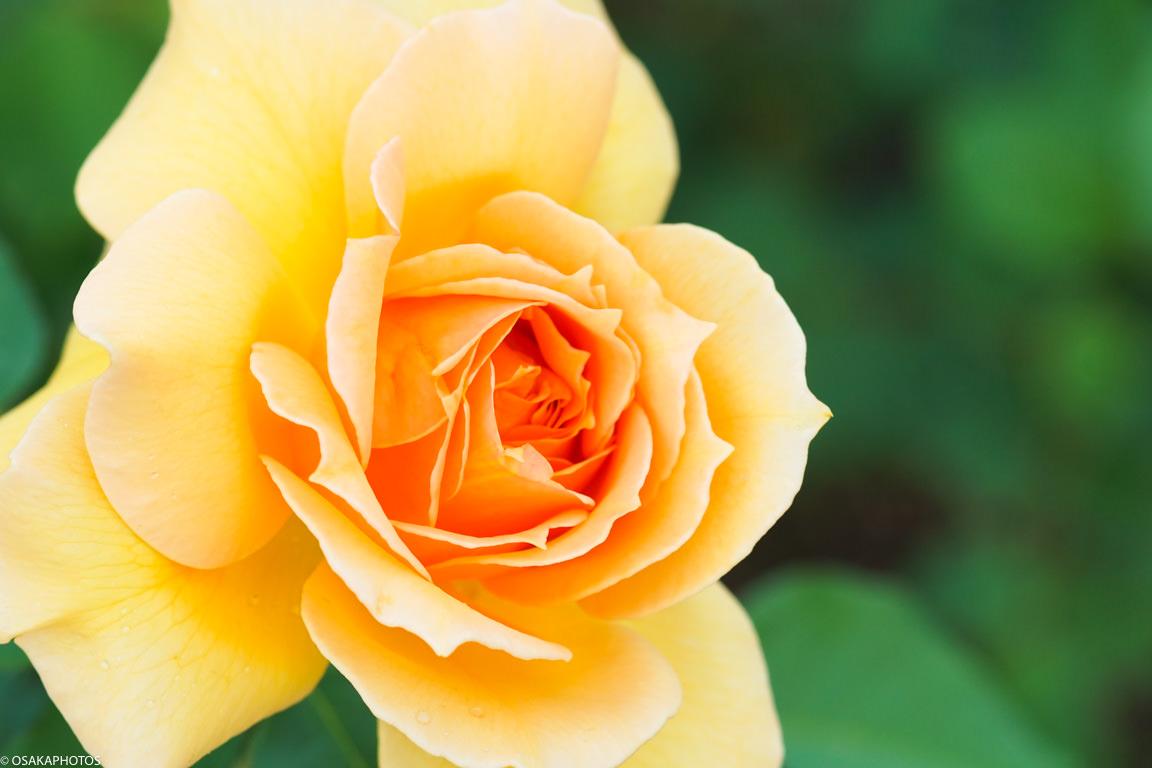 Rose Garden-02669