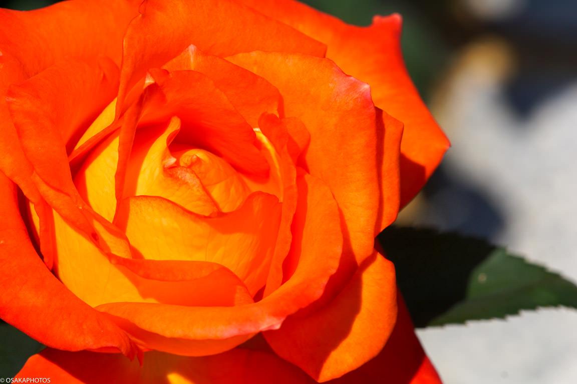 Rose Garden-07200