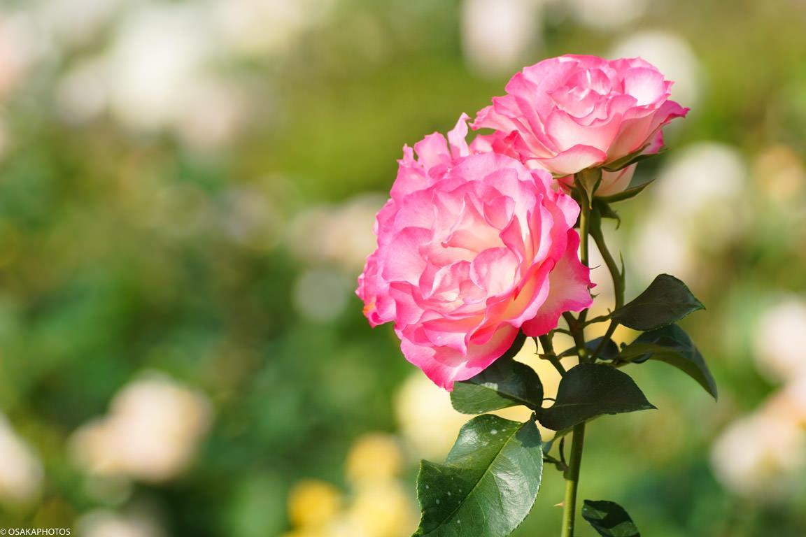 Rose Garden-09395