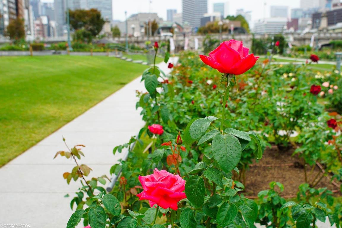 色濃く、香り豊かな秋バラ。中之島公園バラ園が見頃 | 大阪の ...