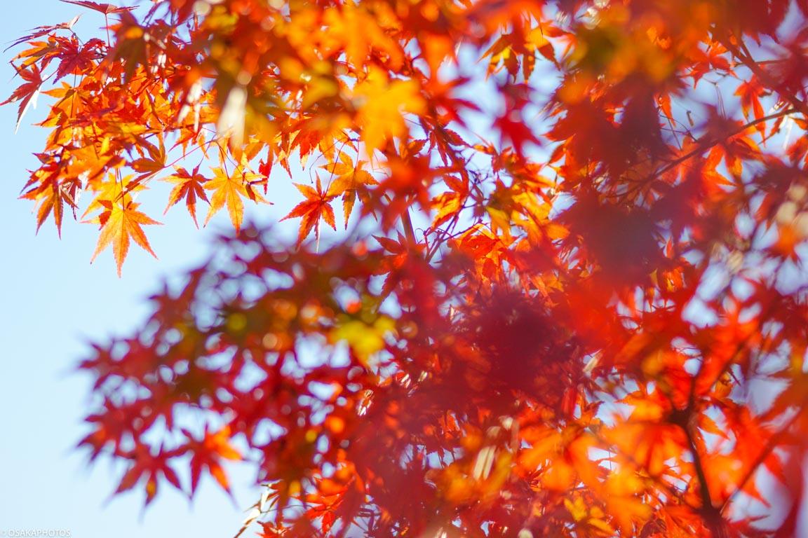 大阪城紅葉-08670