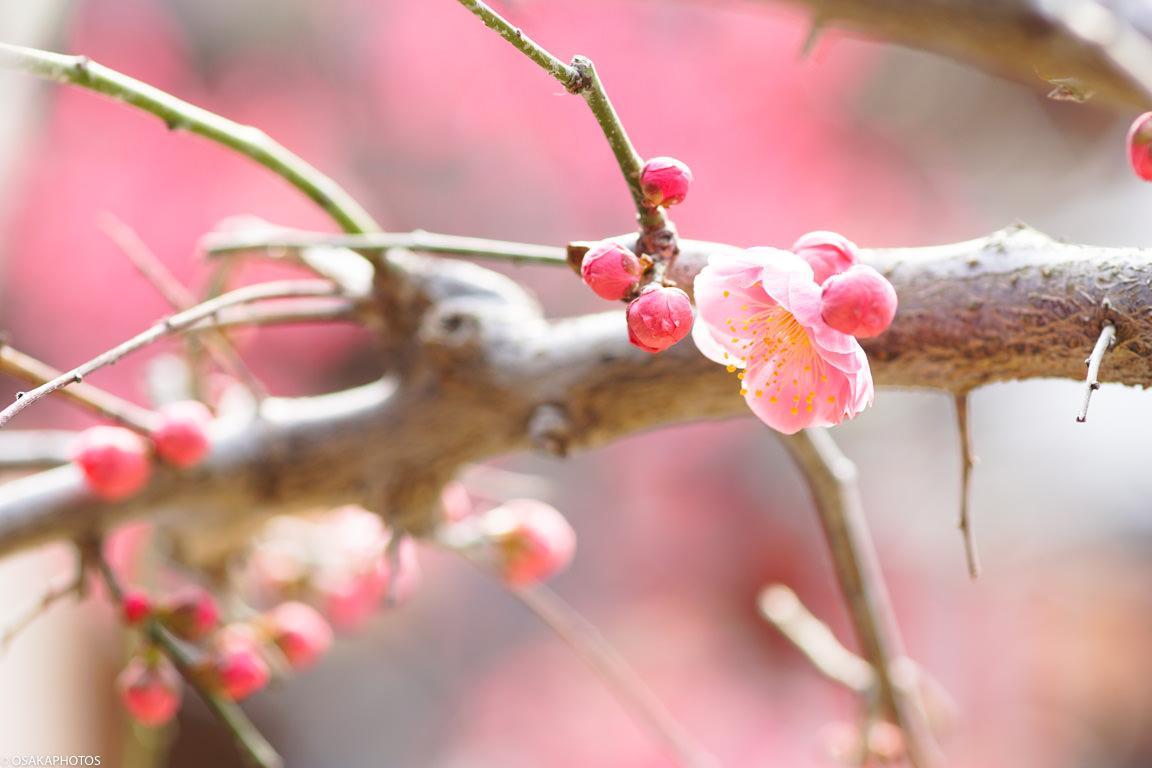 てんま天神梅祭り-03014