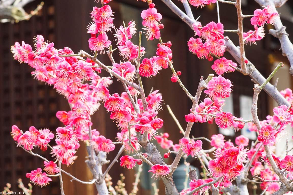 てんま天神梅祭り-03021