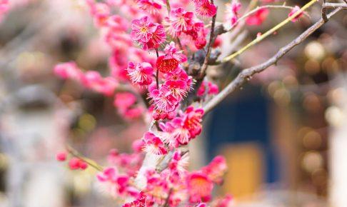 てんま天神梅祭り-03027