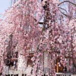 四天王寺枝垂れ桜-04434