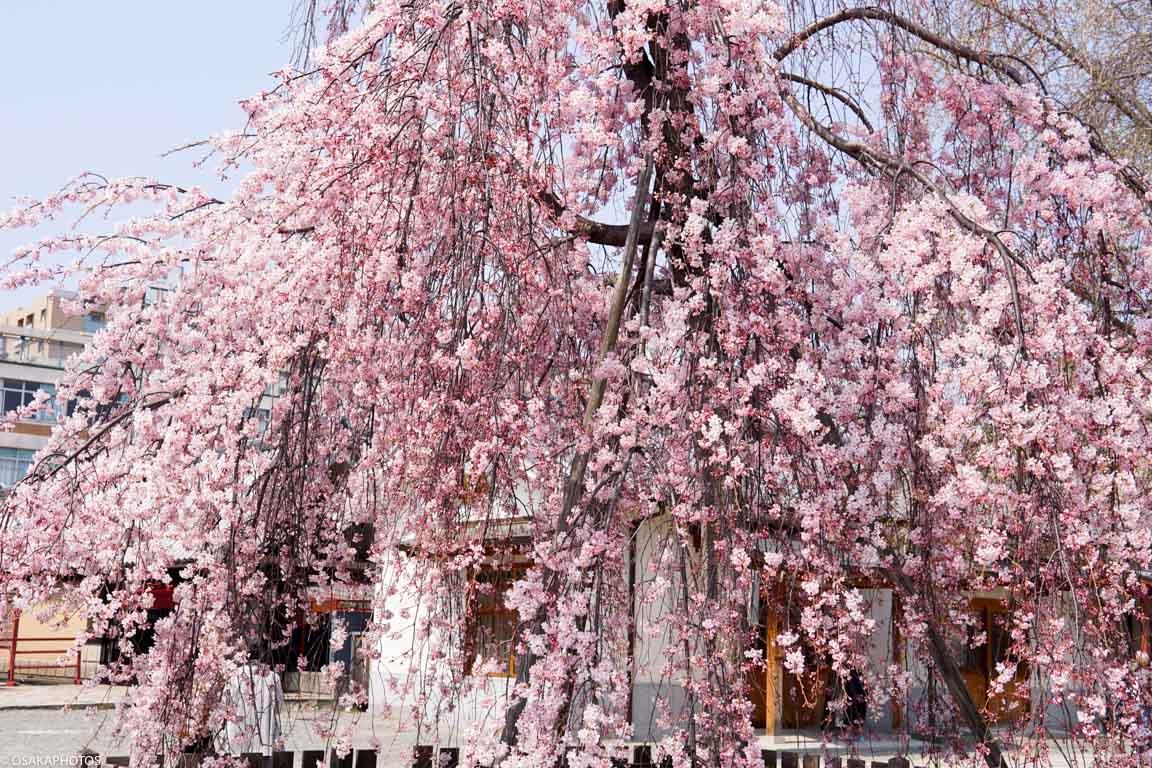 四天王寺の「枝垂れ桜」が見頃で...