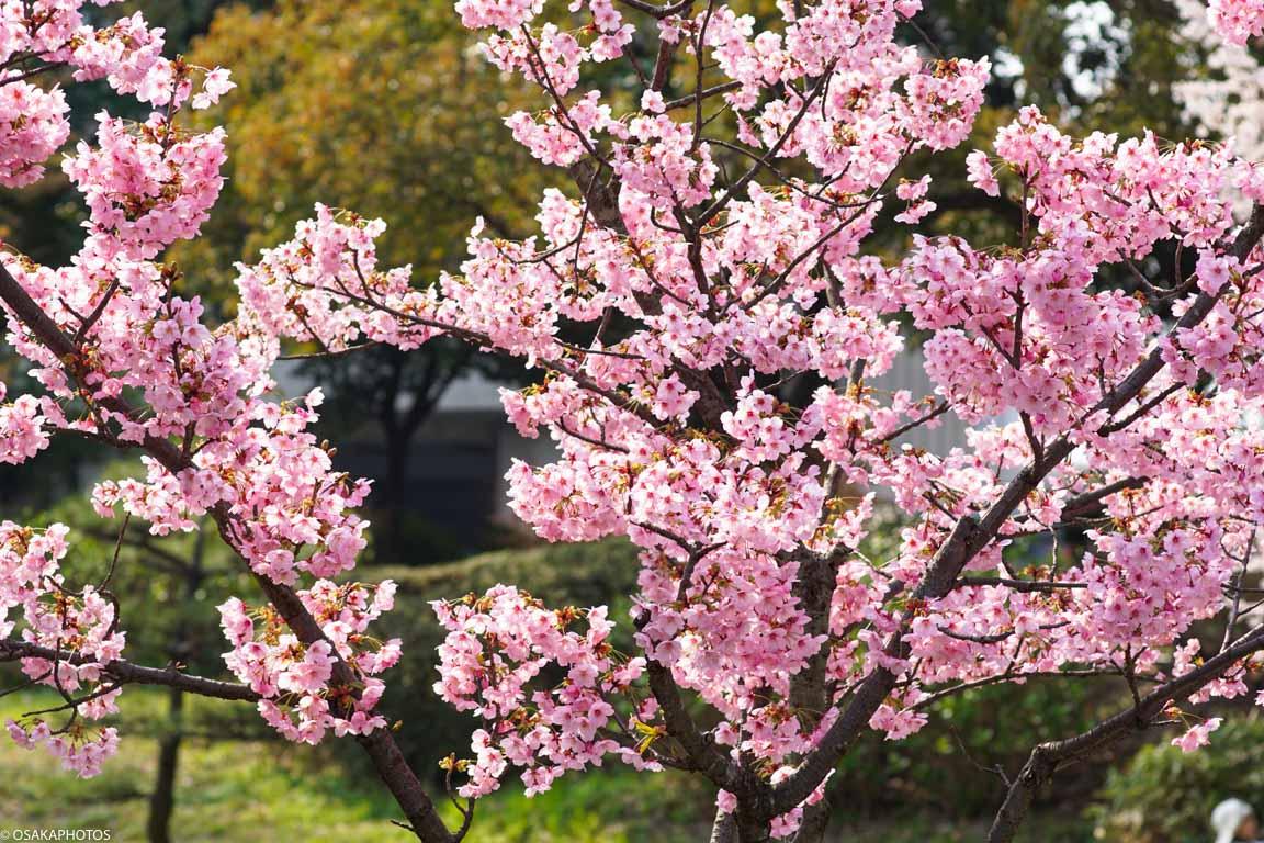 大阪城桜2018-04283