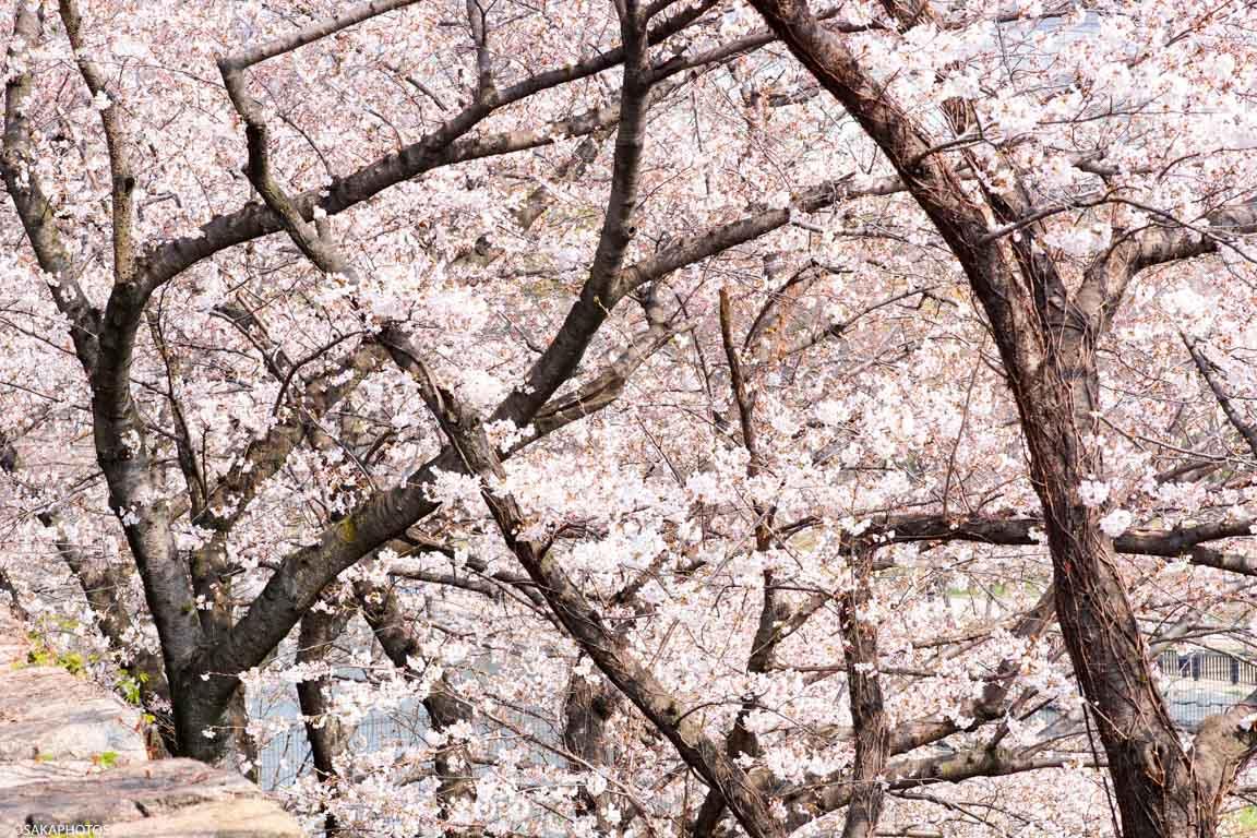 大阪城桜2018-04335