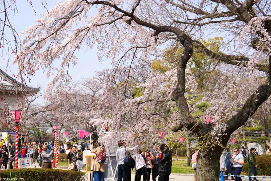 大阪城桜2018-04365